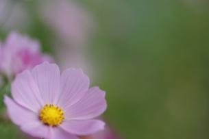 ピンクのコスモスの写真素材 [FYI00224001]
