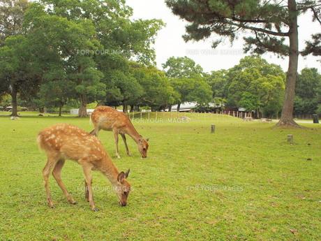 奈良公園で出会った2頭の鹿の素材 [FYI00224017]