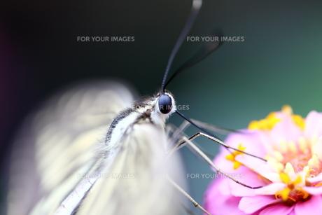 羽をふるわすアゲハチョウの素材 [FYI00224083]