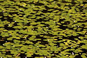 蓮柄の池の写真素材 [FYI00224088]