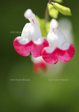 かわいい二輪の花の素材 [FYI00224090]