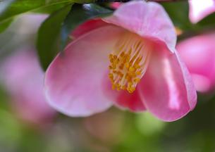 ピンクの椿の素材 [FYI00224093]