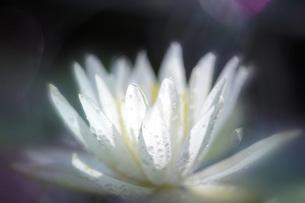 水滴をまとう睡蓮の花の素材 [FYI00224098]