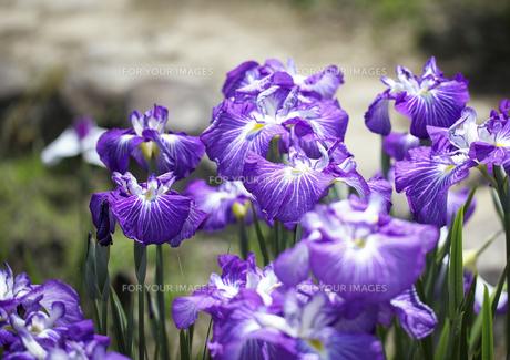 紫が美しい花菖蒲の素材 [FYI00224107]