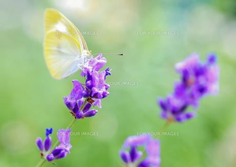 ラベンダーの花にきたモンシロチョウの素材 [FYI00224110]