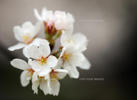 かわいいさくらの花の素材 [FYI00224124]
