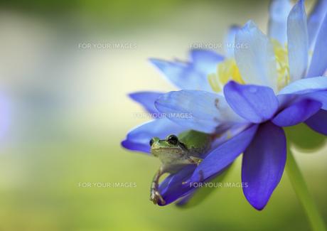 睡蓮の花とアマガエルの素材 [FYI00224126]