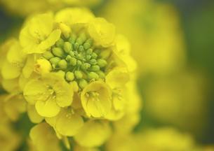 なたね咲く春の写真素材 [FYI00224127]