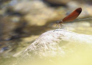 静かな渓流にすむミヤマカワトンボの素材 [FYI00224128]