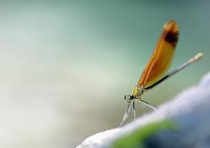 緑の水辺のミヤマカワトンボの素材 [FYI00224129]