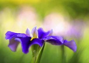 初夏に咲く紫の花の素材 [FYI00224131]