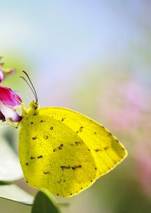 萩の花で休むキチョウの素材 [FYI00224133]