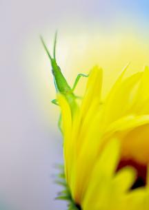 黄色い花とオンブバッタの素材 [FYI00224137]