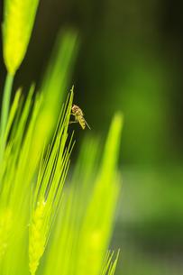 麦の穂にとまるアブの素材 [FYI00224161]