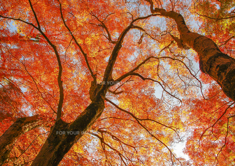 空に広がる紅葉の素材 [FYI00224162]