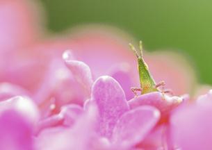アジサイの花とオンブバッタの素材 [FYI00224170]
