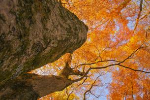 古木の秋の素材 [FYI00224190]