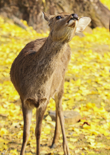 黄葉の中の子鹿の素材 [FYI00224211]