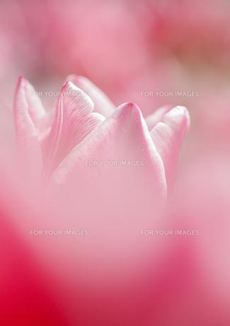 ピンクのチューリップの素材 [FYI00224240]