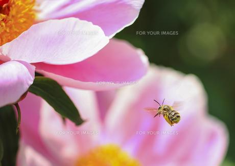 飛翔するハチとシャクヤクの素材 [FYI00224247]