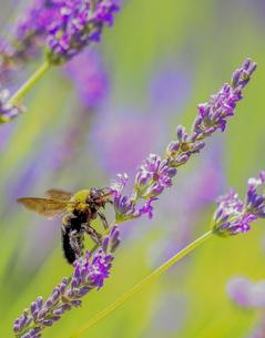 ラベンダーとクマバチの写真素材 [FYI00224252]
