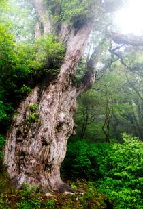 屋久島・縄文杉の写真素材 [FYI00224263]