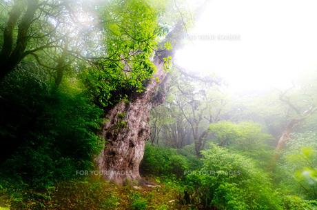 屋久島・縄文杉の写真素材 [FYI00224269]