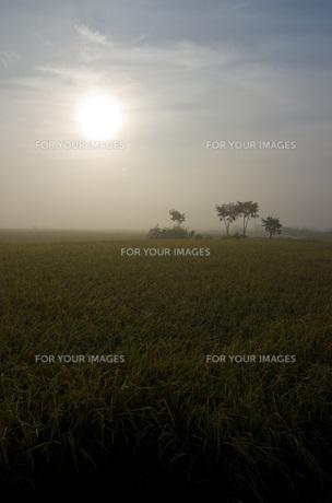 朝靄の中の木と稲穂の写真素材 [FYI00224277]