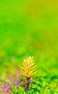 屋久島の森・木の芽の写真素材 [FYI00224279]