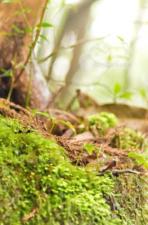 屋久島の森・苔と新芽の写真素材 [FYI00224288]