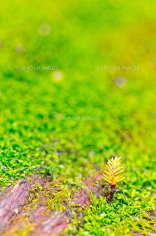 屋久島の森・木の芽の写真素材 [FYI00224289]