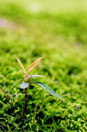屋久島の森・木の芽の写真素材 [FYI00224298]