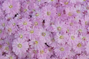 オトメ色の小菊たちの写真素材 [FYI00224396]