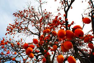 柿のボールの写真素材 [FYI00224559]