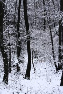 積雪の林の素材 [FYI00224572]