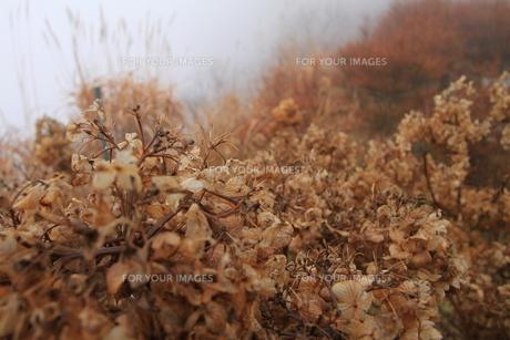 紫陽花の写真素材 [FYI00224576]