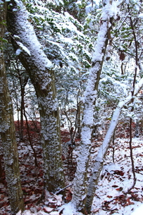 積雪の林の素材 [FYI00224590]