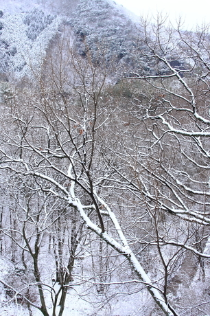 積雪の木の素材 [FYI00224615]