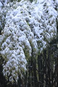 雪をかぶった笹の写真素材 [FYI00224619]