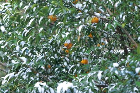 雪をかぶつたみかんの木の写真素材 [FYI00224636]