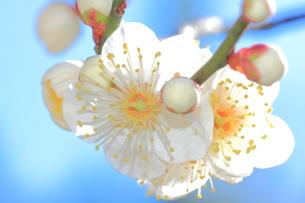 梅の花の写真素材 [FYI00224743]