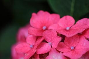 赤い紫陽花の写真素材 [FYI00224842]