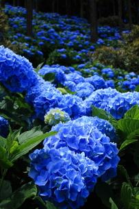 紫陽花の群生の素材 [FYI00224848]