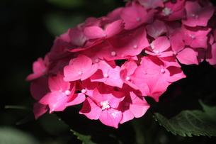 赤い紫陽花の写真素材 [FYI00224851]