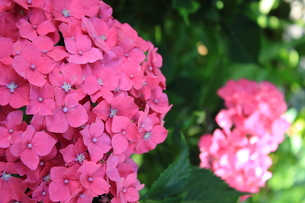 赤い紫陽花の写真素材 [FYI00224854]