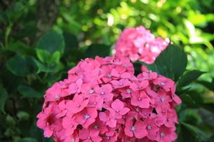 赤い紫陽花の写真素材 [FYI00224870]