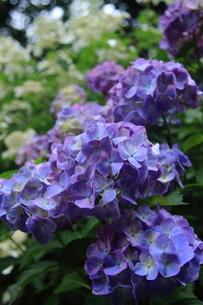 紫陽花の写真素材 [FYI00224891]