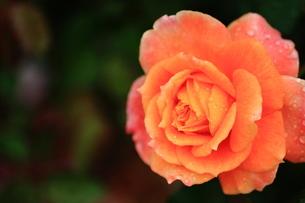 オレンジのバラの写真素材 [FYI00224930]