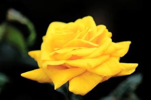 黄色いバラの写真素材 [FYI00224962]