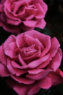 紫のバラの写真素材 [FYI00224977]